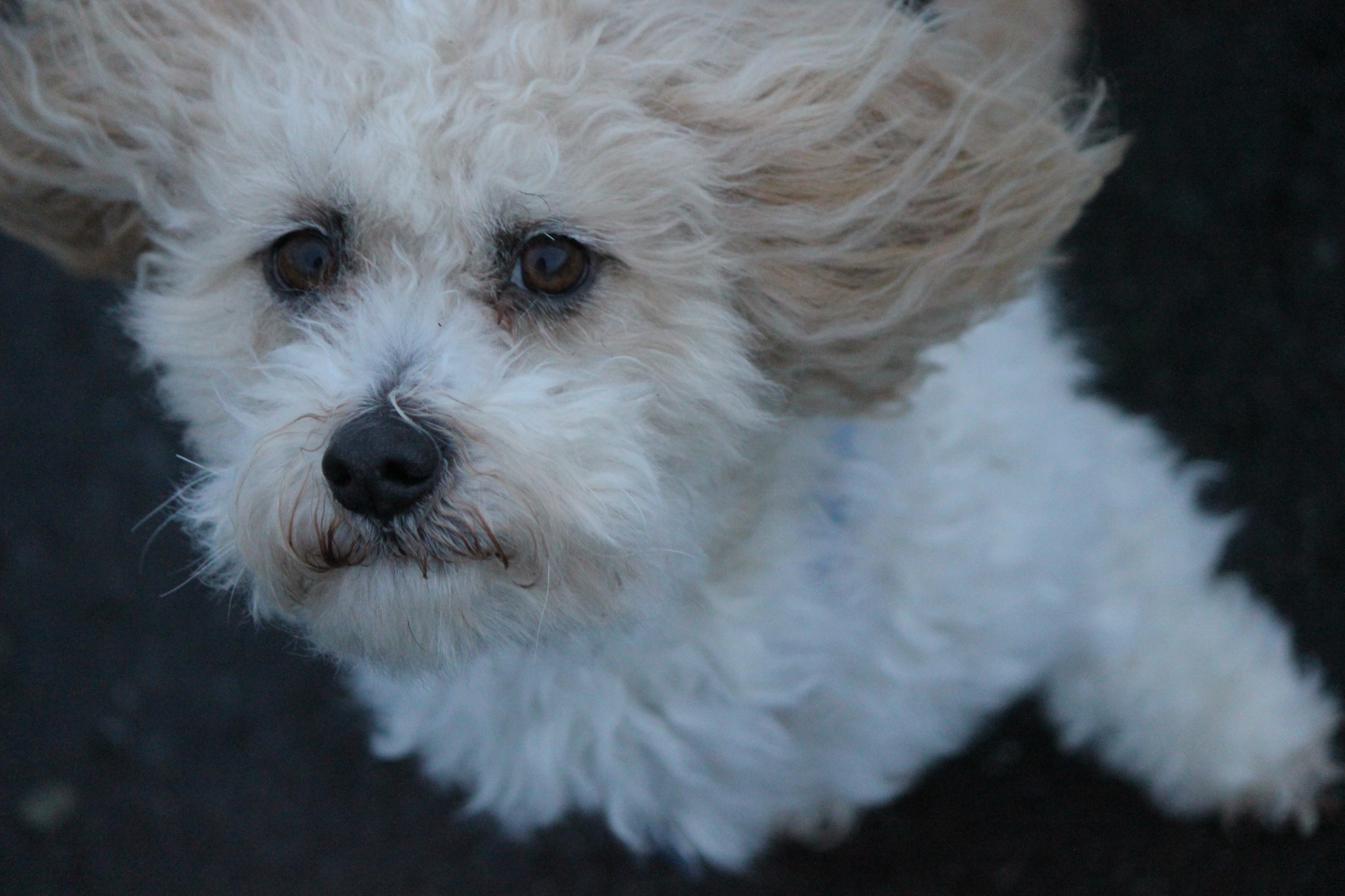 White Poodle In The Wind Cc0photo