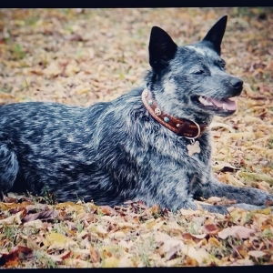 "Blue Heeler ""Sissy"" from Oklahoma wearing Dakota Dawg w/ T-stars from CCC!"