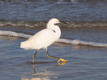 Egret taking me for a walk