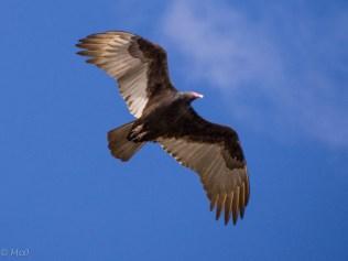 Black Vulture hovering