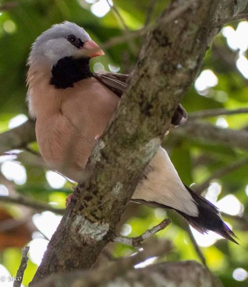 Shafttail Finch