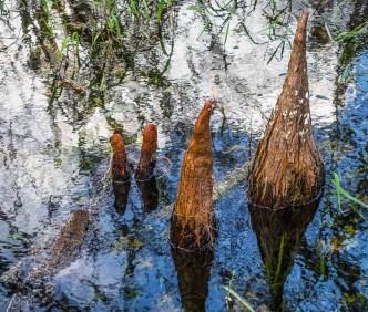 Mangrove Knees