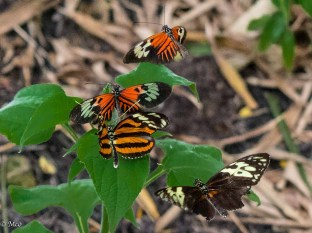 Many Piano Key males fight over the fluttering female