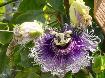 Passiflora 'Byron Beauty' Passifloraceae