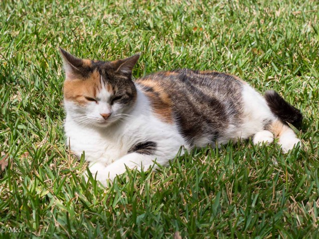 A Hemmingway Cat