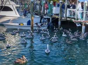 Pelican feeding time at the fishing dock