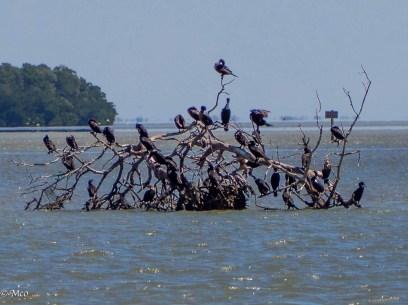 Cormorant hangout
