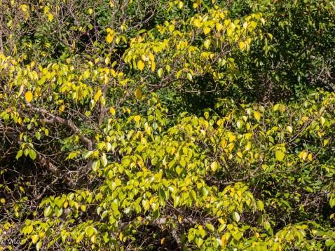 Manchineel Tree (poisonous)