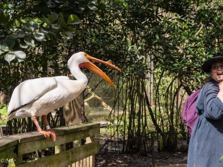 White Pelican (rude variety)