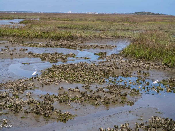Snowy Egrets feeding in the oyster beds at low tide