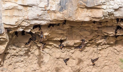 Cliff Swallows nesting
