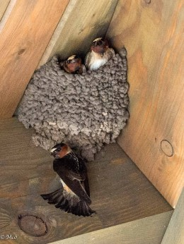 Swallows nesting in the Center's roof