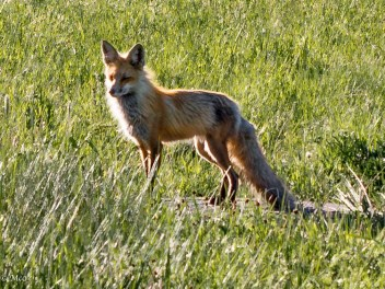 Fox near our campground one morning
