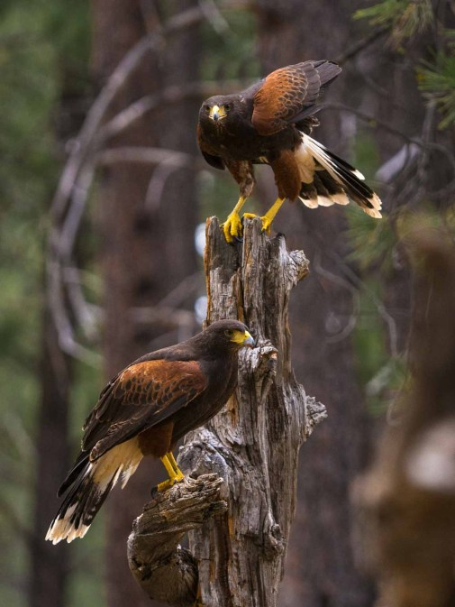 Pair of Harris' Hawks