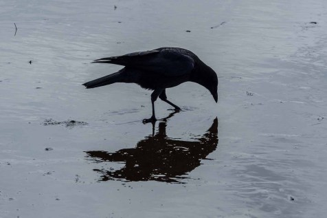 Crow competing with the seabirds