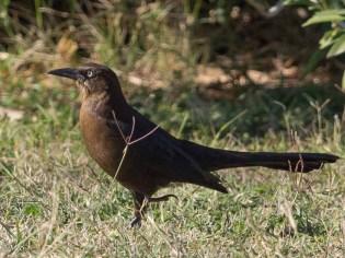 Texas cowbird