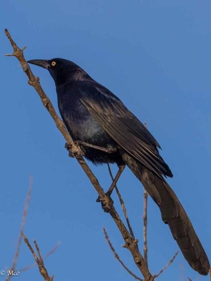 Texas blackbird