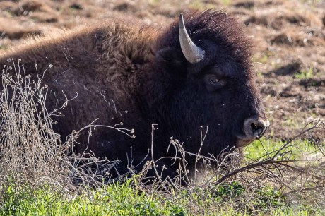 Bison on the property