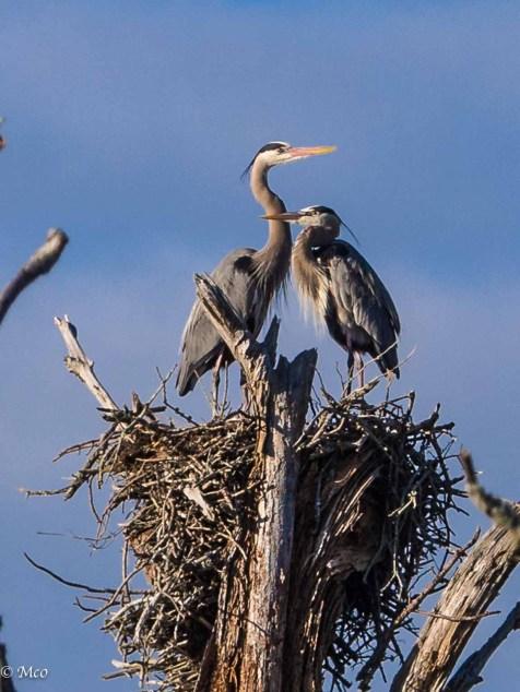 Pair of Blue Herons