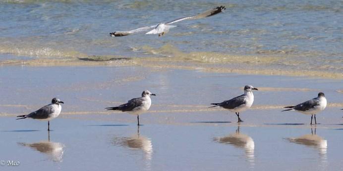 Juvenile Laughing Gulls