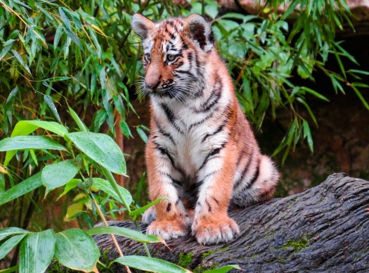 Tiger, Photo by Gellinger, Courtesy Pixabay