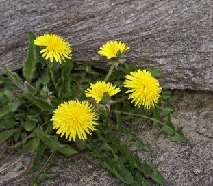 Image of a dandelion growing between rocks