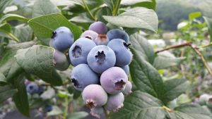 blueberries on the tree