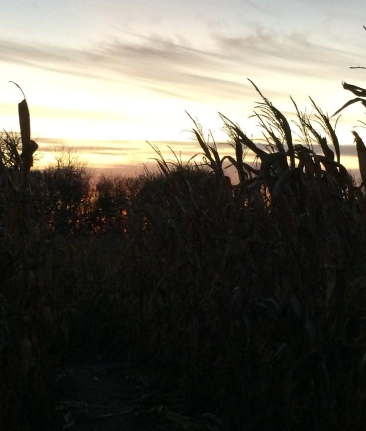 corn maze photography