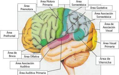 funciones corteza