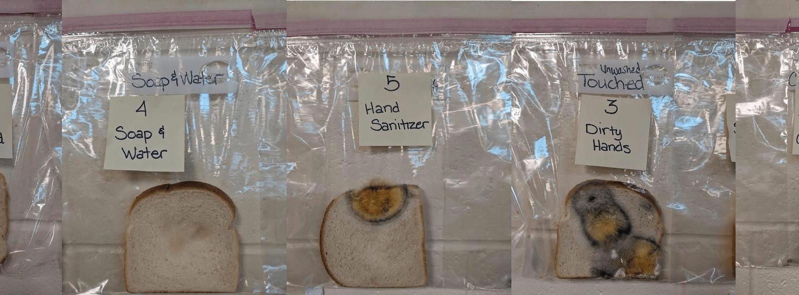 A imagem mostra a sequência das fatias de pão utilizadas na experiência realizada pelo professor Jaralee Annice Metcalf. As fatias apresentam diferentes níveis de contaminação por bolor dependendo do contato com mãos limpas, sujas e o contato com teclados dos chromebooks utilizados pelos alunos.