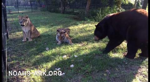La increíble historia de amistad entre un león, un tigre y un oso