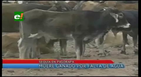 Cochabamba: Muere ganado a causa de la sequía en Pasorapa