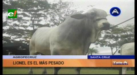 Lionel FIV es el toro más pesado de Agropecruz 2016