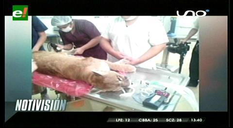 Operan a un puma en el Hospital de Veterinaria de la Uagrm