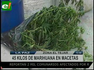 Incautan 45 kilos de marihuana cultivados en macetas