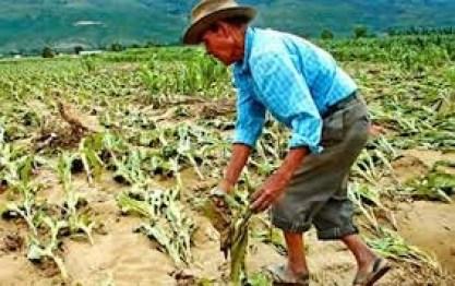 Más de 300 has de cultivos se pierden por granizada en Chuquisaca