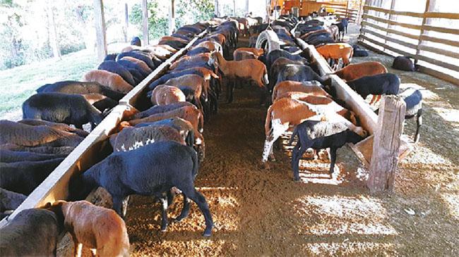 Ovejas de pelo. La crianza y el consumo de carne aumentan en Santa Cruz