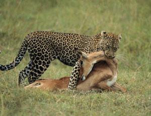¿Puede inhibirse el instinto depredador?