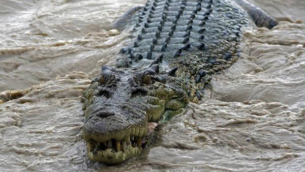 El cocodrilo marino, el saurio más grande del mundo.