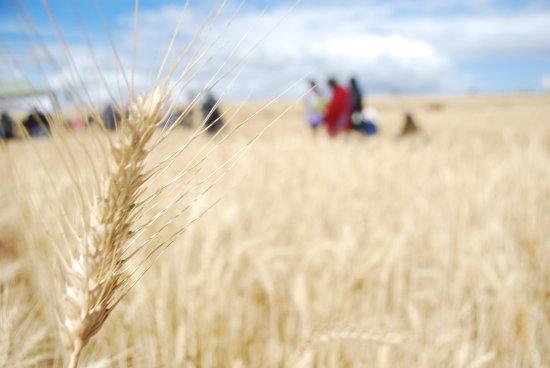PRODUCCIÓN. La cosecha de trigo en Chuquisaca.