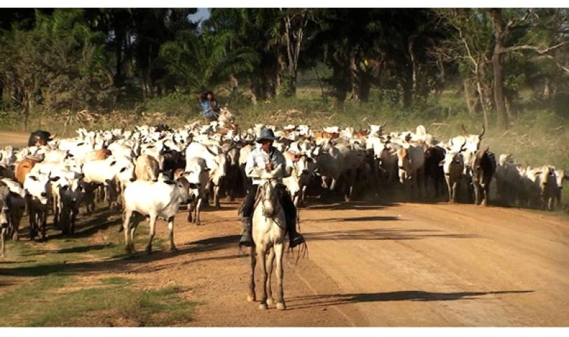 El 90% del ganado de San Ignacio es cebuino de alta genética y el restante 10% es criollo.