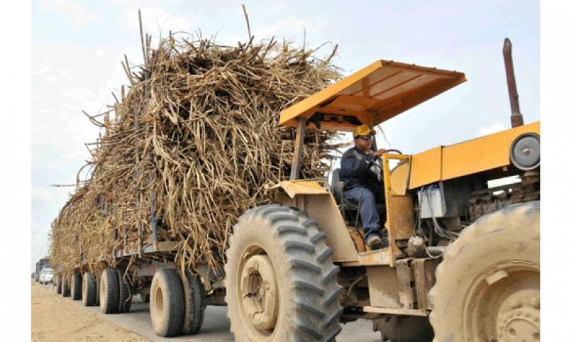 Los productores tiene que cortar la caña manualmente debido a la inestabilidad del suelo.