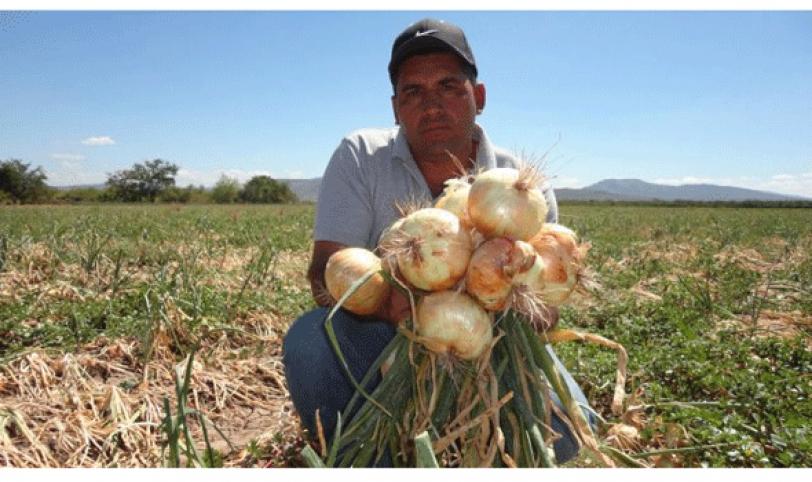 Productores apenas sembraron 300 hectáreas de cebolla.