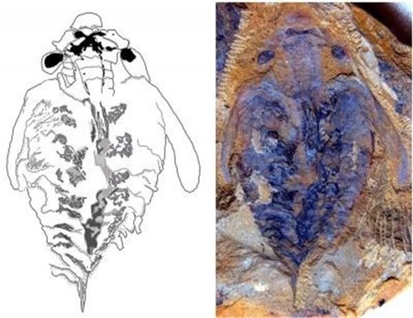 fosil-depredador