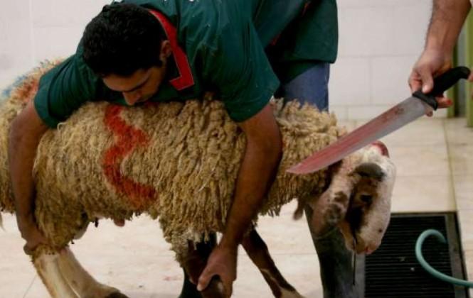 En Sopocachi, musulmanes sacrifican a 25 corderos como parte de rito religioso
