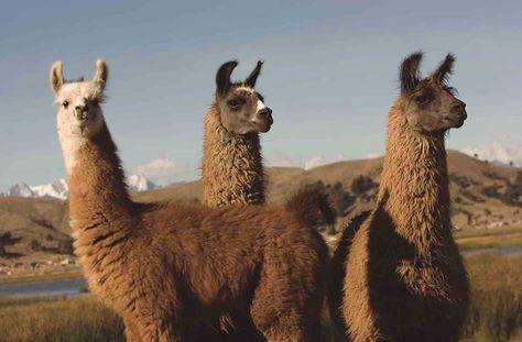 Mejoran las perspectivas para la producción de camélidos en tres regiones. Foto: Internet