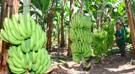 Buscan identificar a la plaga que ataca a la producción de banano