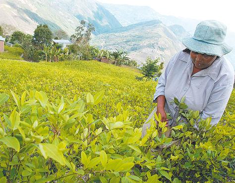 Cultivo. Una productora en su cocal en La Asunta, Sud Yungas de La Paz.
