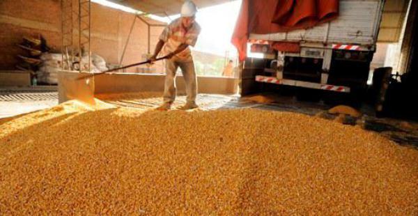 El mercado Abasto en la capital cruceña es un punto de referencia comercial del grano amarillo. Los productores indican que el déficit de lluvias en el chaco cruceño afectó algunos sembradíos