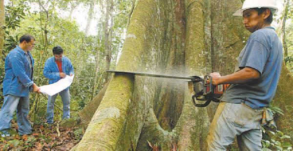 Técnicos de La Chonta verifican que el árbol a talar sea el que figura en el censo forestal